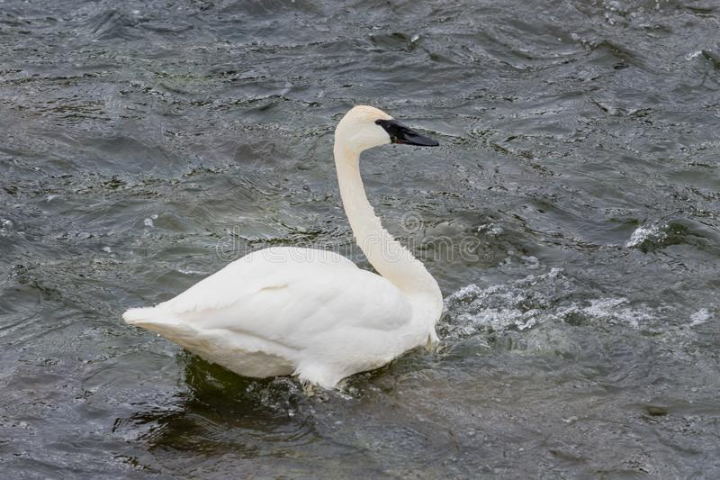 A Trumpeter Swan royalty free stock photography