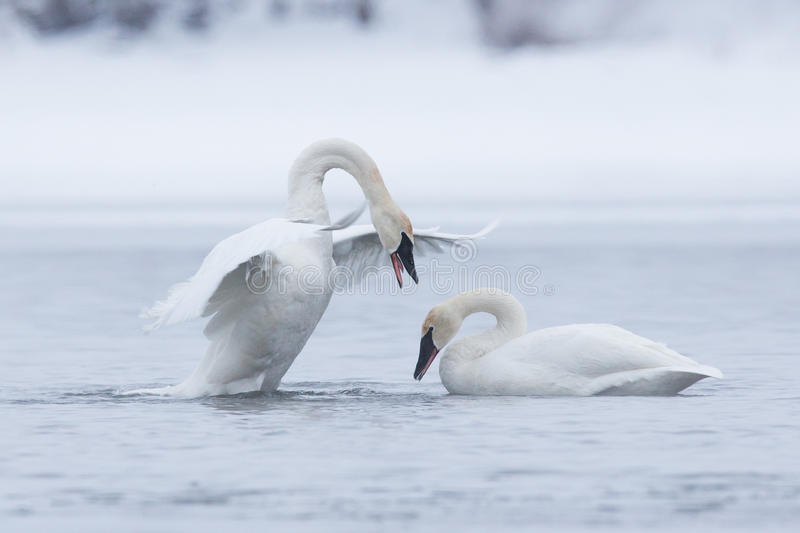 Trumpeter swan displaying dominance. During mating season royalty free stock image