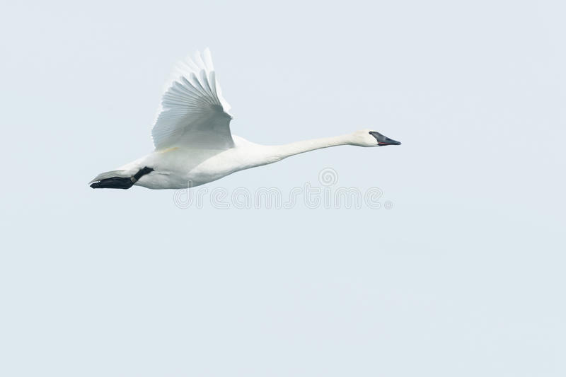 Trumpeter Swan. Flying across the overcast sky royalty free stock photo