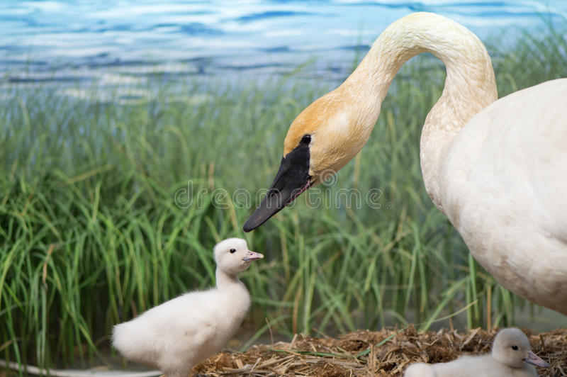 A Trumpeter Swan and her Cygnets stock photos