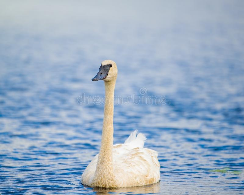 Trumpeter swan individual swimming taken in Autumn before Fall migrations in the Crex Meadows Wildlife Area in Northern Wisconsin.  royalty free stock photo