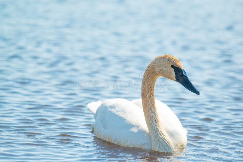 Trumpeter swan individual swimming -  taken during the early Spring migrations at the Crex Meadows Wildlife Area in Northern Wisco stock photos