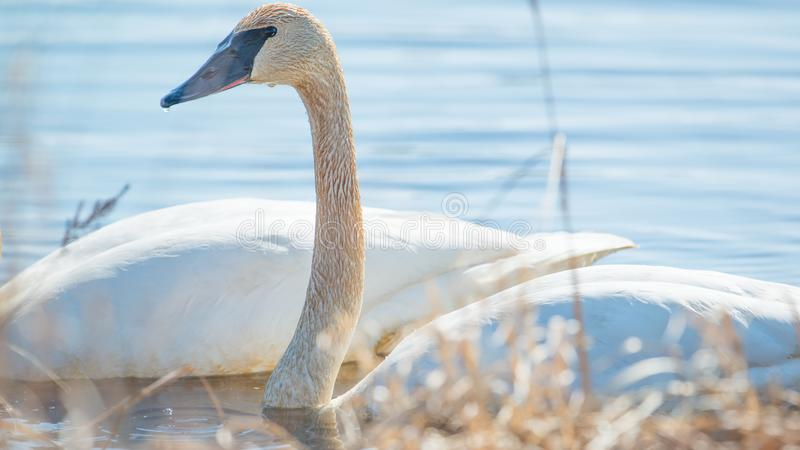 Trumpeter swan individual swimming -  taken during the early Spring migrations at the Crex Meadows Wildlife Area in Northern Wisco stock photography
