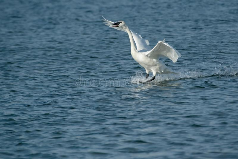 Download Trumpeter Swan stock image. Image of nature, ornithology - 104238027