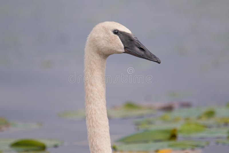 Trumpeter swan portrait with detail of beautiful plumage, eye, and beak - at the end of summer - taken in the Crex Meadows Wildlif. E Area in Northern Wisconsin stock photography