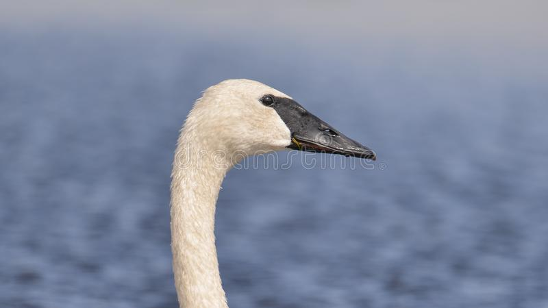 Trumpeter swan portrait with detail of beautiful plumage, eye, and beak - at the end of summer - taken in the Crex Meadows Wildlif. E Area in Northern Wisconsin stock image