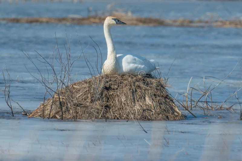 Trumpeter swan sitting on an island on a cold early spring wetland in the Crex Meadows Wildlife Area in Northern Wisconsin - poten. Tially a nest but individual royalty free stock photos