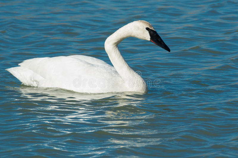 Trumpeter Swan. Swimming in the open water stock photos