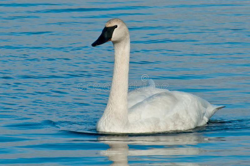 Trumpeter Swan. Swimming in the water stock photo