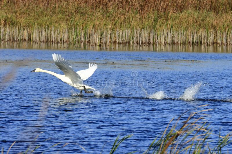Trumpeter Swan taking off in water royalty free stock image