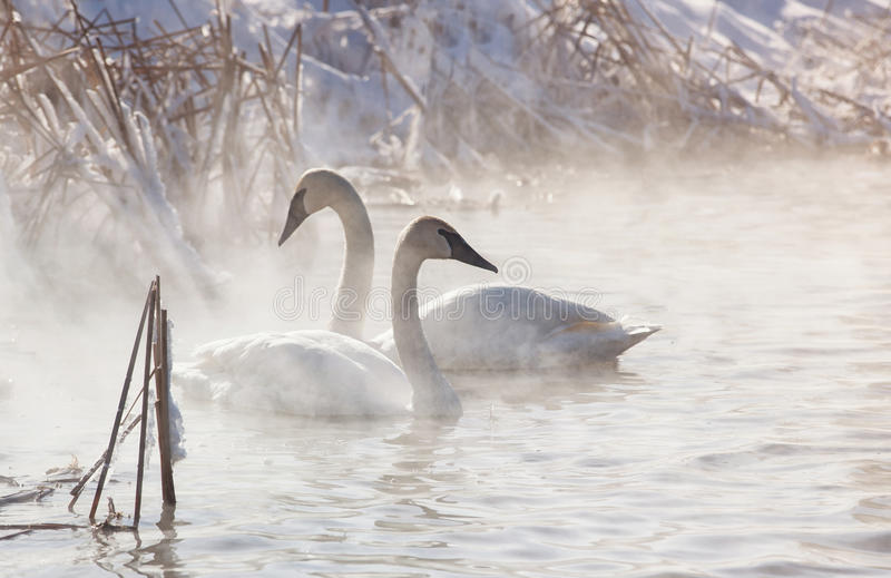 Download Trumpeter Swans stock photo. Image of sunlight, mist - 29392124