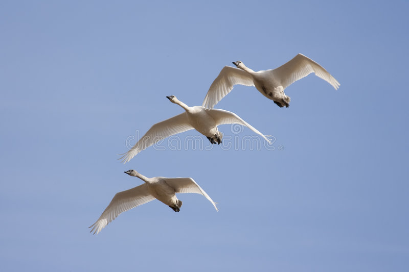 Trumpeter Swans royalty free stock photos