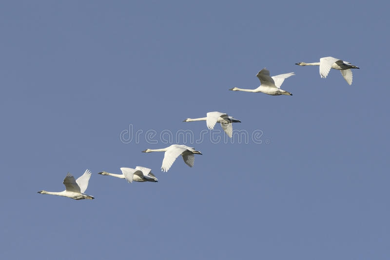 Trumpeter Swans Flying Flock royalty free stock photography