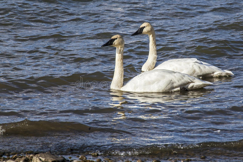 Trumpeter Swans Mating Pair Stock Images