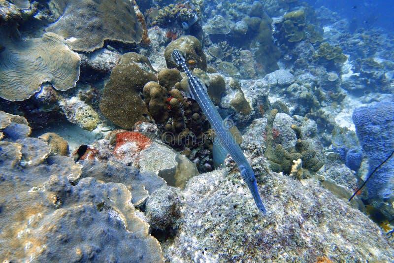 Trumpetfish die in de oceaan zwemmen stock foto