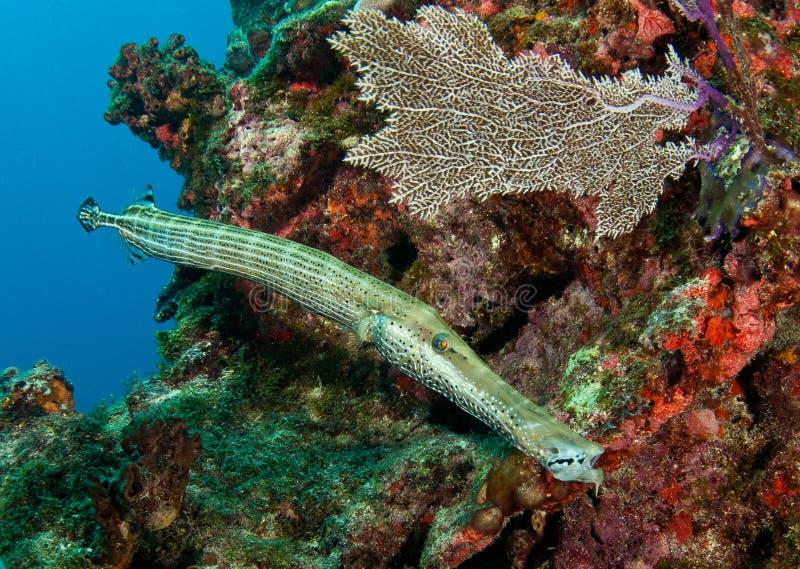 Trumpetfish op Snapper Richel stock afbeeldingen
