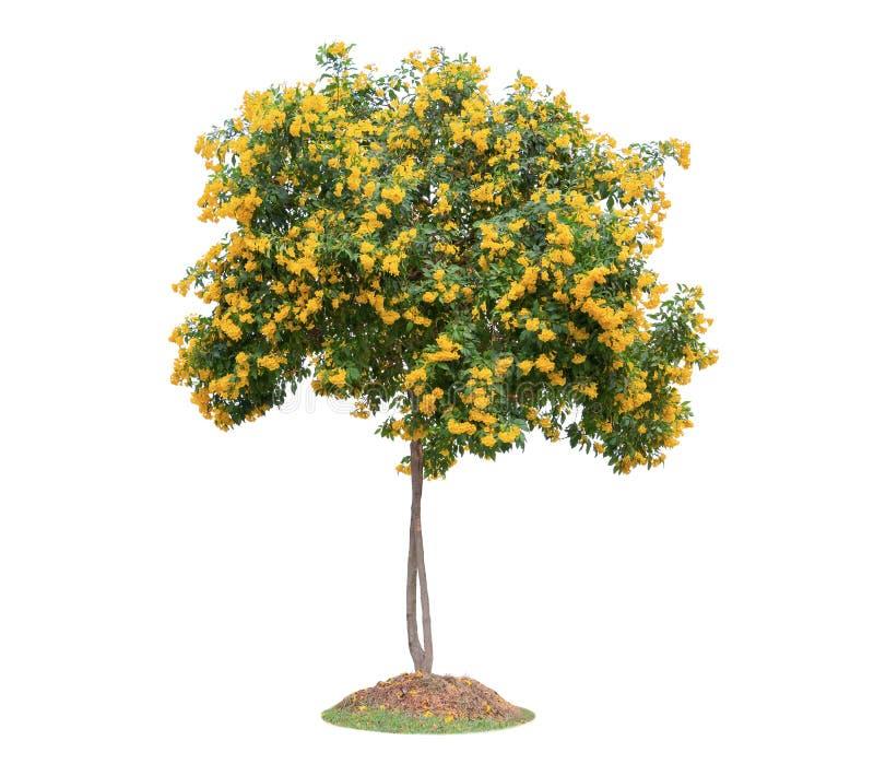 Trumpetflower-Baum lokalisiert auf weißem Hintergrund Schön und r lizenzfreie stockbilder