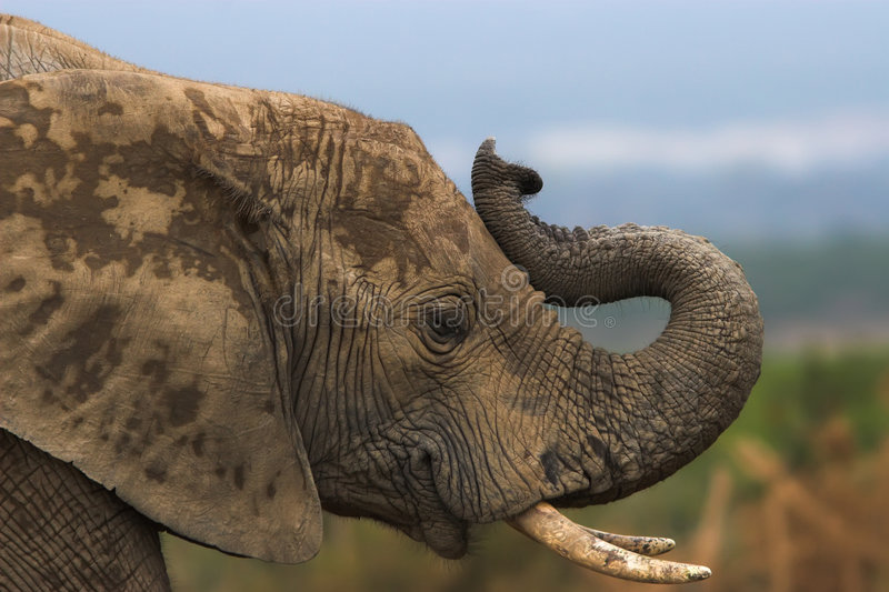 Trumpeting. Close up of an african elephant trumpeting stock photo