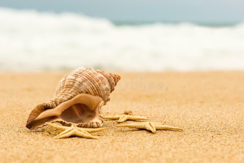 Trumpetsnäckaskal och sjöstjärna på stranden fotografering för bildbyråer