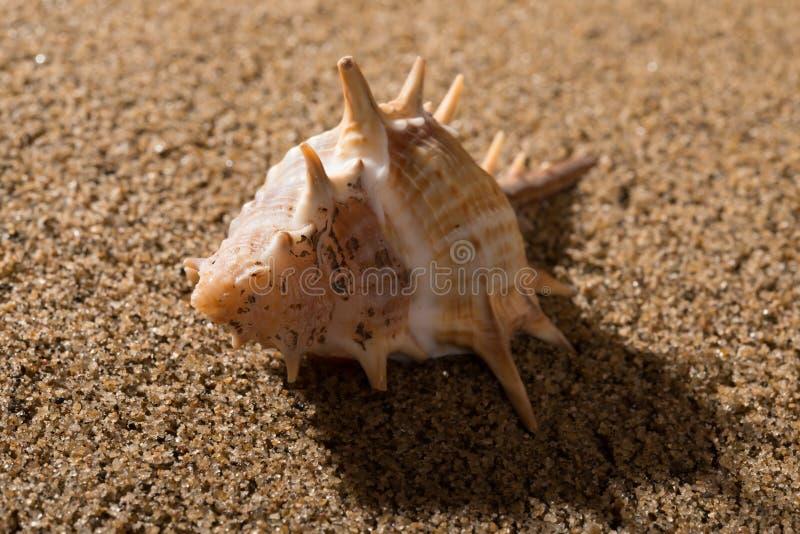 Trumpetsnäckaskal på sand royaltyfri fotografi