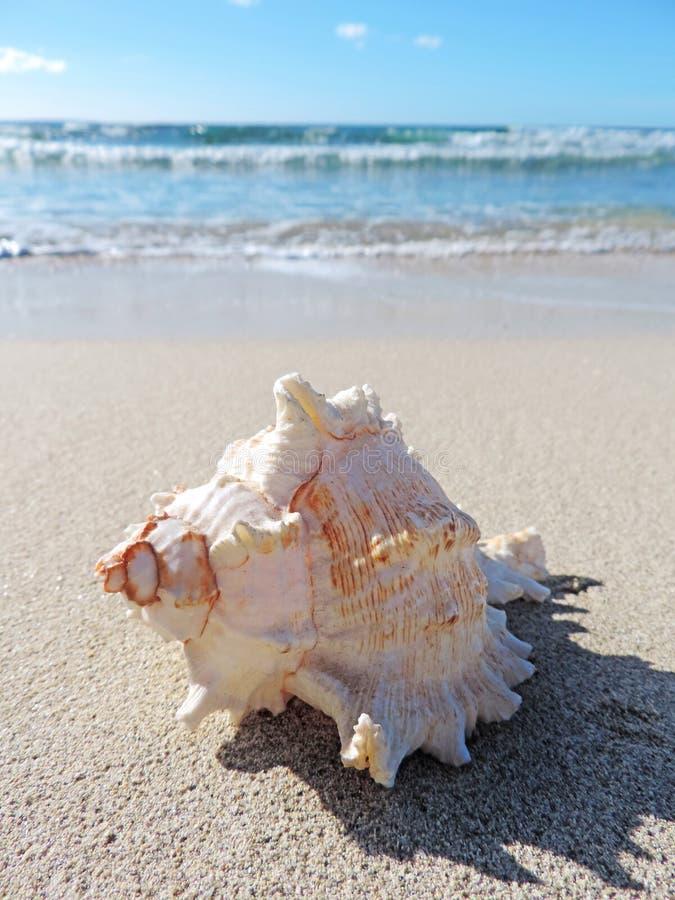 Trumpetsnäckaskal på stranden royaltyfri foto