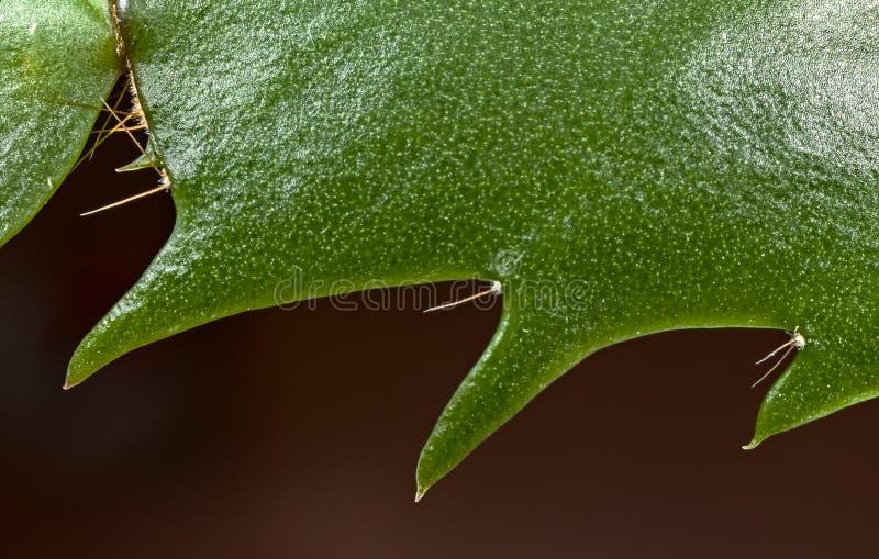 Truncata del Schlumbergera del cactus foto de archivo