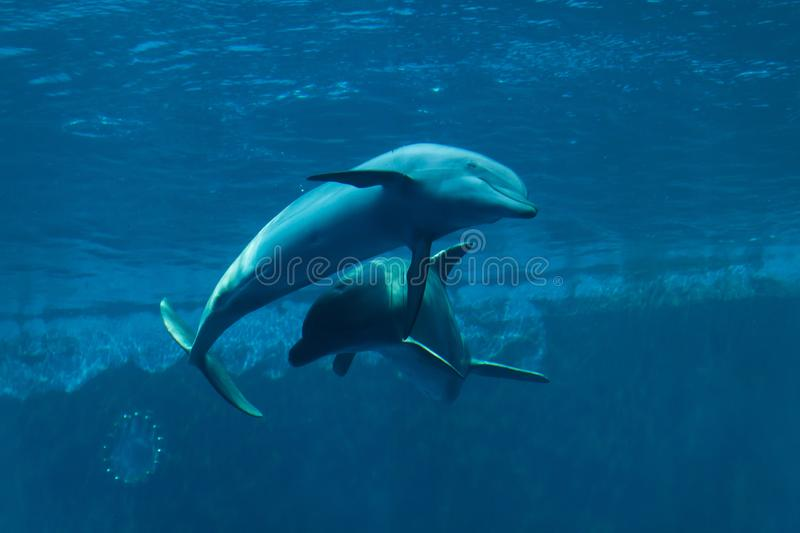 Truncatus commun de Tursiops de dauphins de bottlenose photographie stock libre de droits