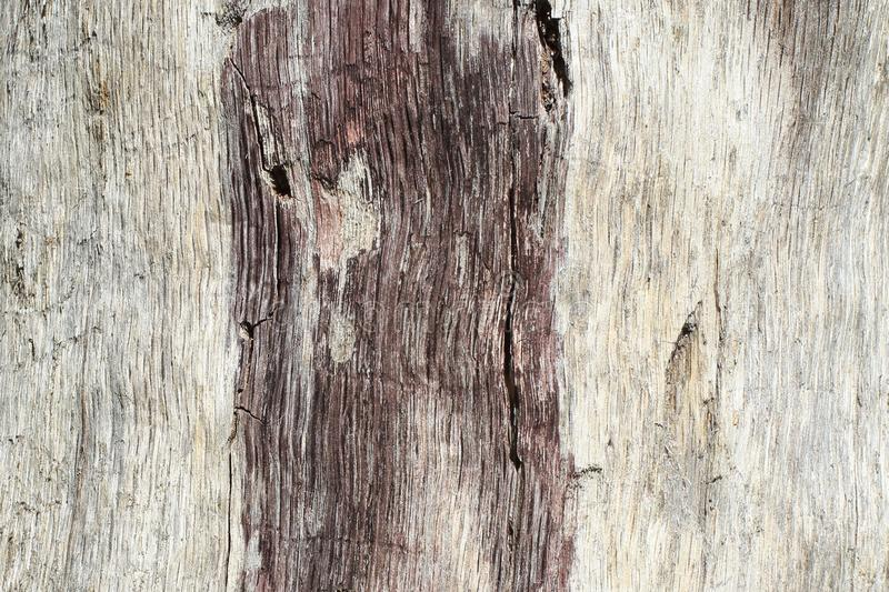 The trunk of an aspen without bark, affected by insects and atmospheric phenomena in natural conditions. Original embossed pattern. The original natural royalty free stock photo