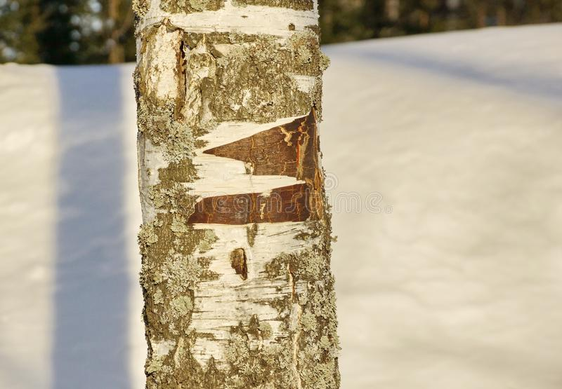 Survival in a forest fragment of the trunk of a birch winter the snow had peeled the bark. The trunk of a birch. forest winter snow to kindle a fire of birch stock photos