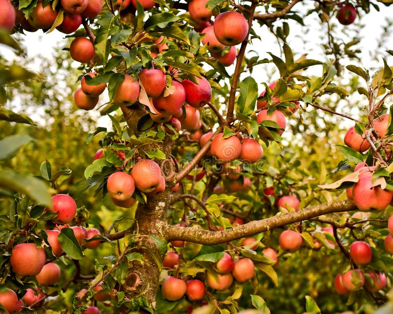 Trunk and branches of apple and many red apples royalty free stock images
