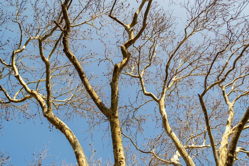 Trunk and branches of an old plane tree with spotted bark against a blue spring sky on a sunny day stock image