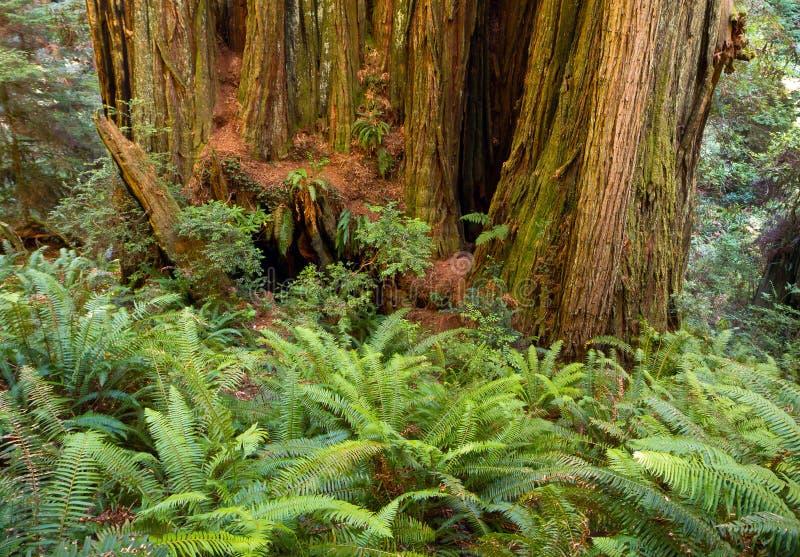 Trunk of California redwood tree among ferns royalty free stock image