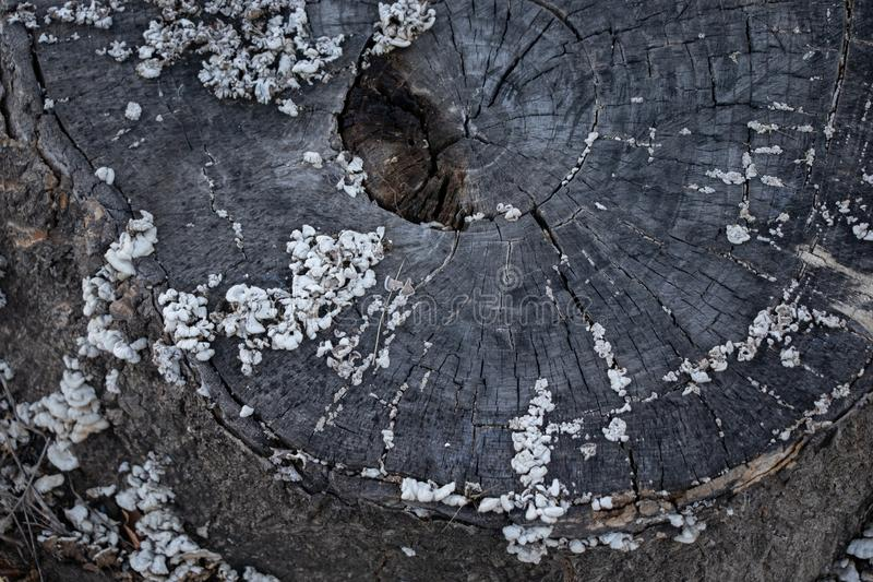 Trunk cut. Old wood texture with mushrooms stock photos