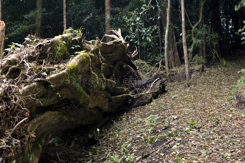 Trunk of a fallen huge old fig tree in a misty forest in Monteverde. Costa Rica. stock images