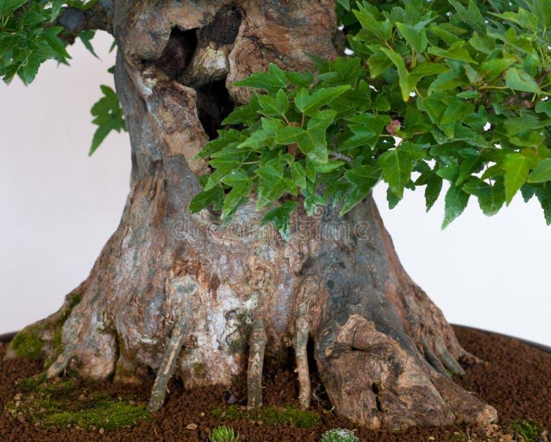 Trunk of a maple tree bonsai royalty free stock photo