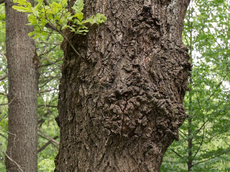 The trunk of an oak tree with fancy figured outgrowths of bark and a young twig with green leaves on the background of a forest. royalty free stock photos
