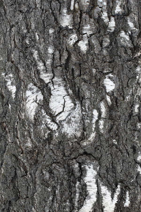 Download Trunk of old birch stock image. Image of macro, crack - 30508877