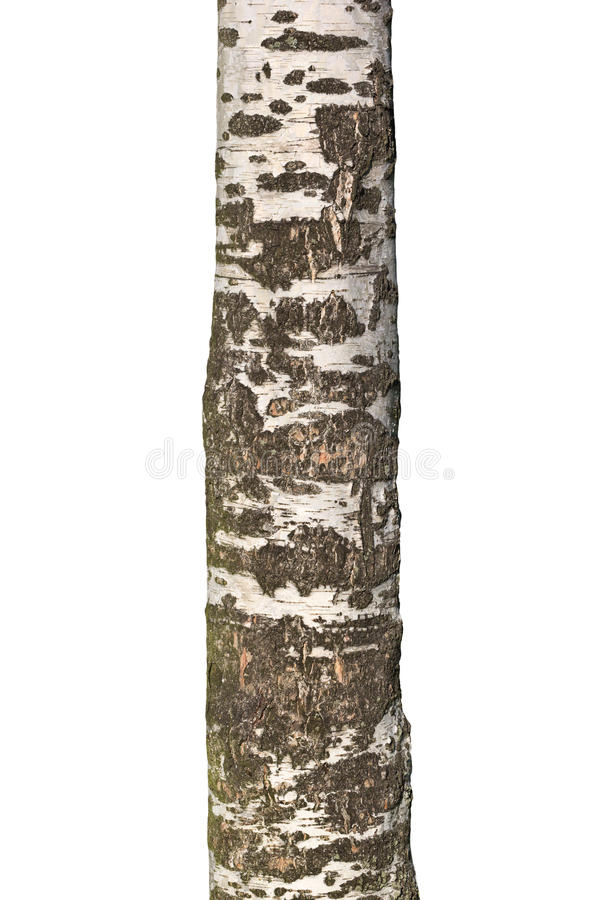 Download Trunk of old birch stock image. Image of isolated, white - 33434049