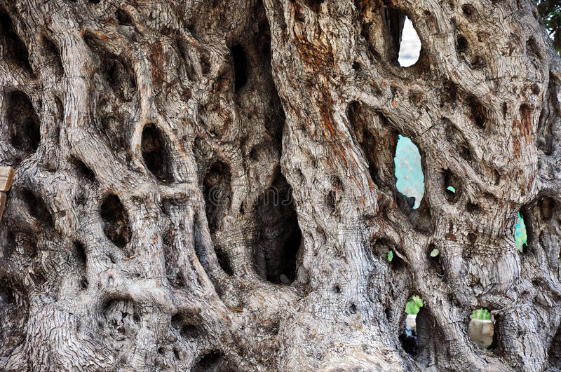 A Trunk of Old Olive Tree royalty free stock image