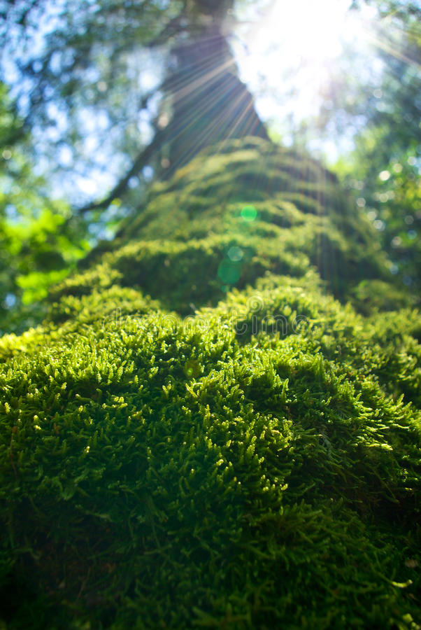 Trunk of an old tree densely covered with moss.  royalty free stock image