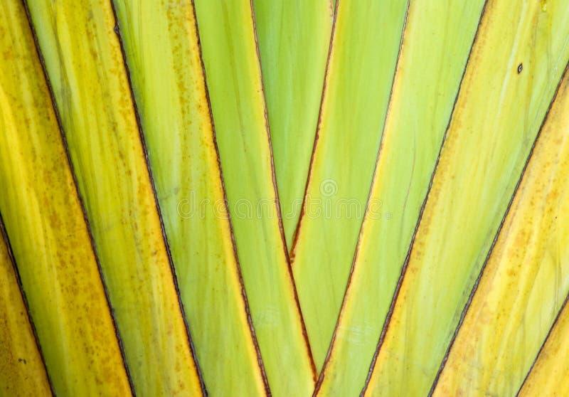 Trunk of ornamental banana. Texture of ornamental banana trunk in the park stock photos