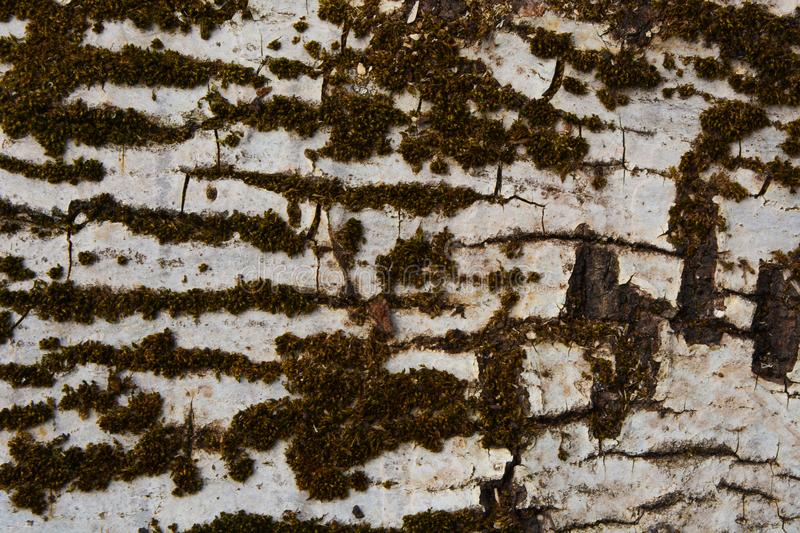 Trunk of perennial birch overgrown with moss, space for design stock images