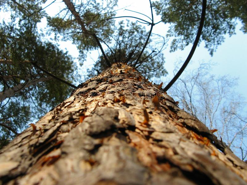 The trunk of pine. View from below.Tops of trees from ground view. Pine forest on a background of withe sky in chelyabinsk, russia. Photo taken from bottom to stock photo