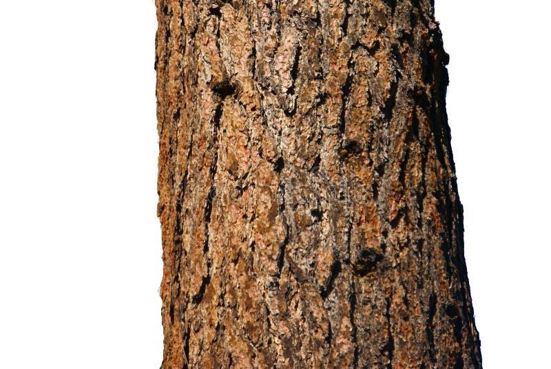 Download Trunk of Ponderosa Pine stock photo. Image of ponderosa - 6996198