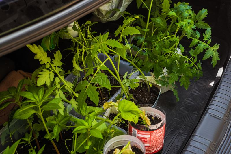 Trunk with tomato seedlings. Dnepr, Ukraine- May 04, 2019: Trunk with small tomato seedlings for delivery to summer cottage stock photography