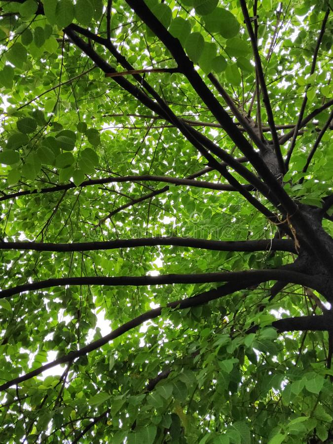 A trunk of tree bearing leaves royalty free stock image