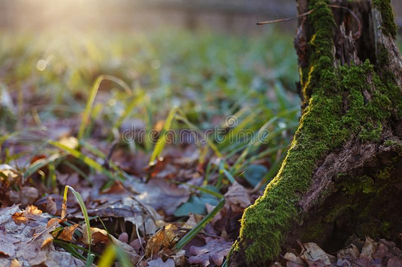 The trunk of a tree covered with moss in a forest glade with gre stock images
