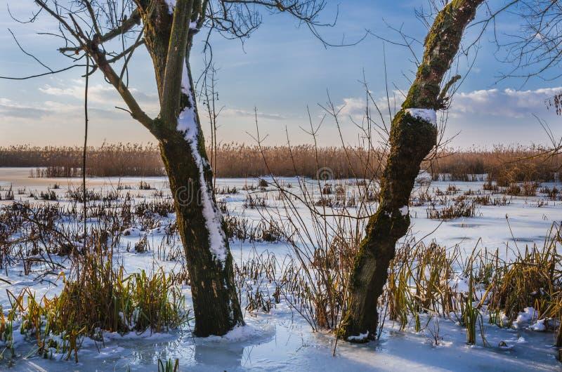 Tree trunks on frozen lake stock image