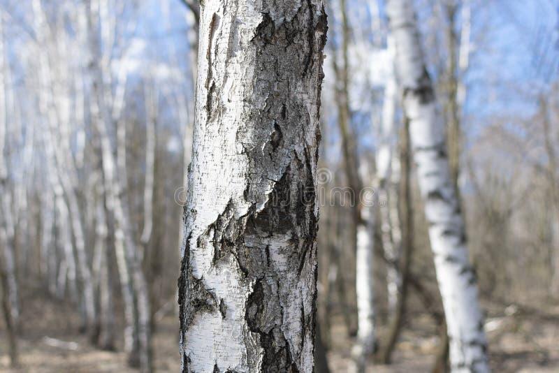 White birch trunk close up stock photo