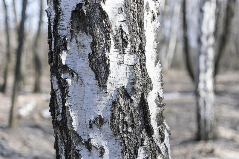 Trunk of white birch close-up stock images